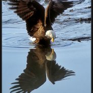 EagleReflection